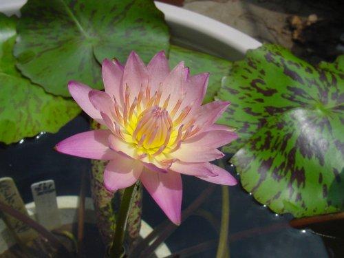 500 アルバート・グリーンバーグ2番花 Dsc02507.jpg