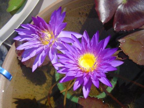 500 ウルトラ・バイオレット4番花5番花 Dsc01335.jpg