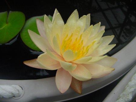 450 マンカラウボン・2番花 Dsc09265.jpg
